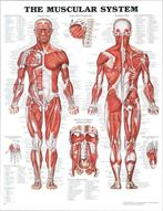 Muscular-System, Curtisy Massage therapy can ease your entire body